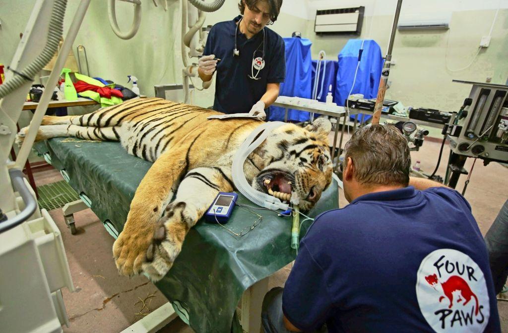 """Mitglieder der Tierschutzorganisation """"Vier Pfoten"""" kümmern sich um den Tiger Lasis. Foto: AFP"""