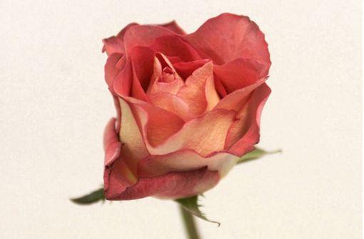 Die Heimleitung spendiert Rosen