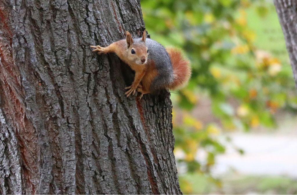 Ein Mann hat in Stuttgart-Nord ein Eichhörnchen erschossen (Symbolbild). Foto: imago images/Xinhua
