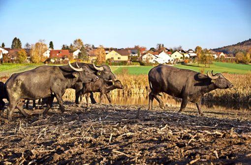 Im Rohrwasen sind die Büffel los