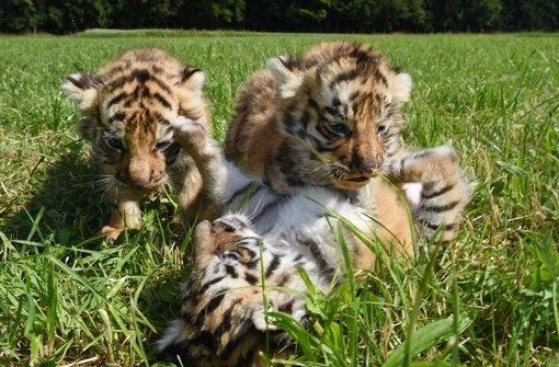 Bengalische Tigerbabys schnuppern Frischluft
