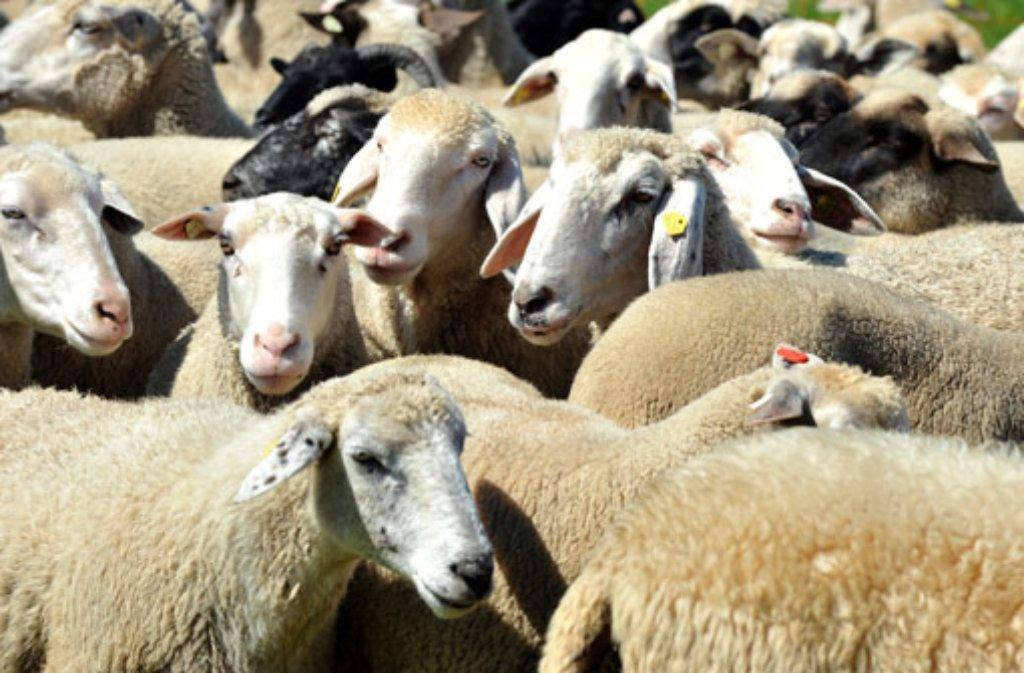 Es soll keine Impfpflicht für Schafe geben.  Foto: dpa