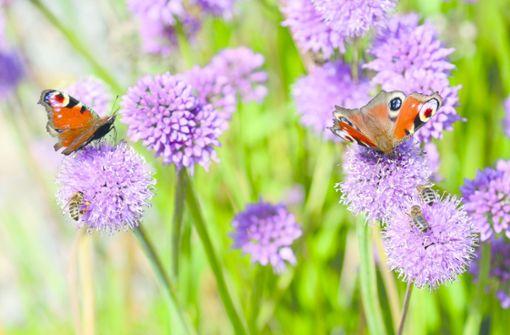 Wie Schmetterlinge sich Gärten wünschen