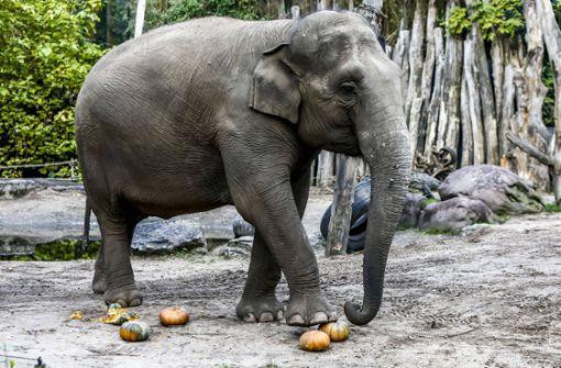 Tierpfleger wird von Elefantenkuh tödlich verletzt