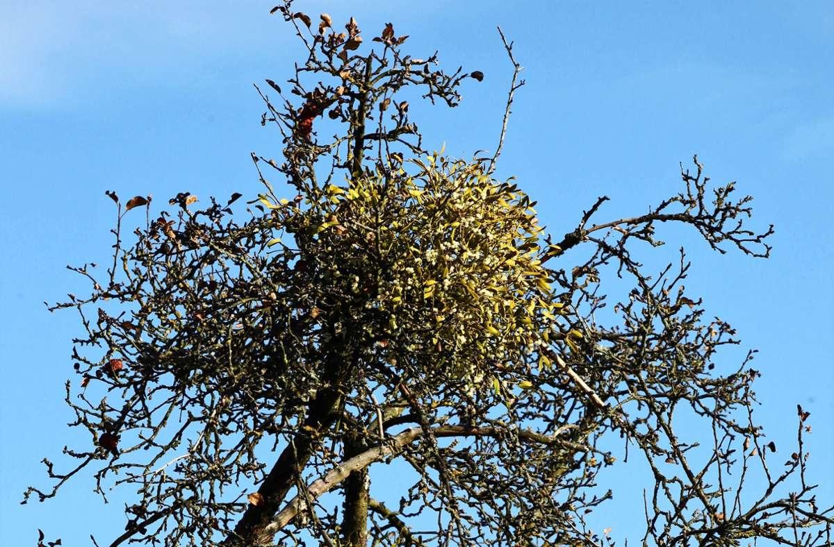 Die Mistel schafft es mittlerweile sogar,ihren Wirt, den Baum, zu töten. Foto: P/atricia Sigerist