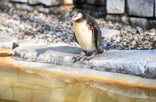 Gestohlener Pinguin tot gefunden - ohne Kopf