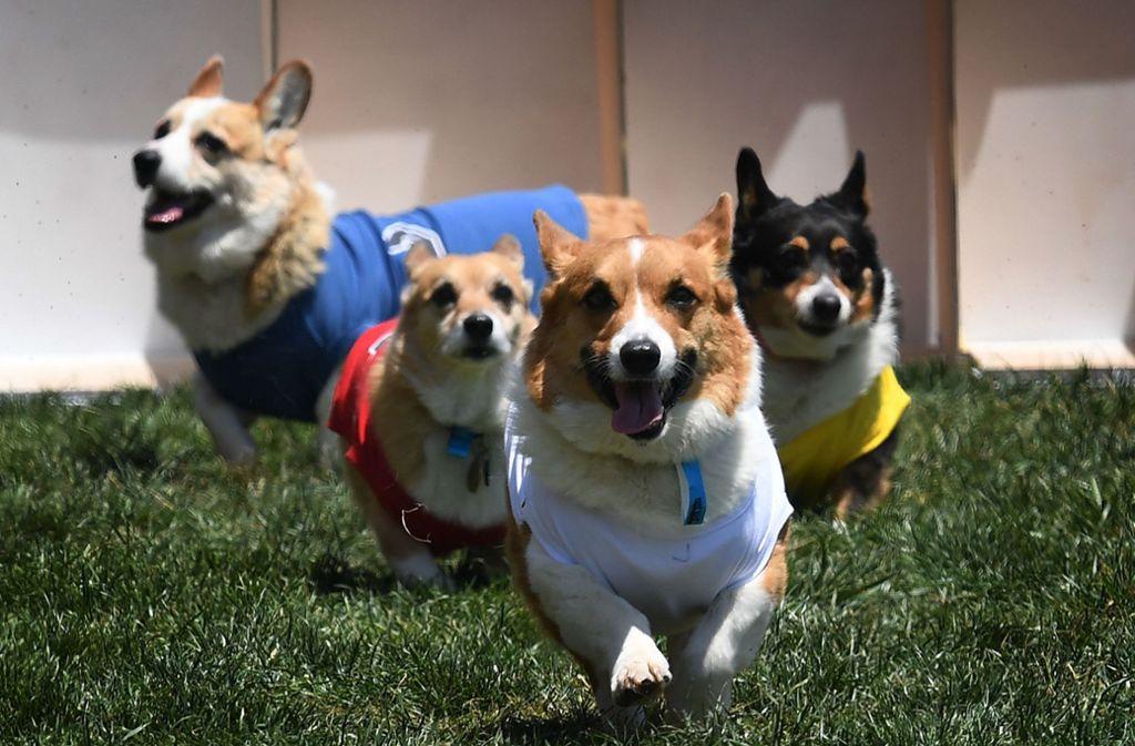 """Die Corgi Con"""" ist ein regelmäßiger Treff für Fans und Besitzer der britischen Hunderasse. Foto: AFP"""