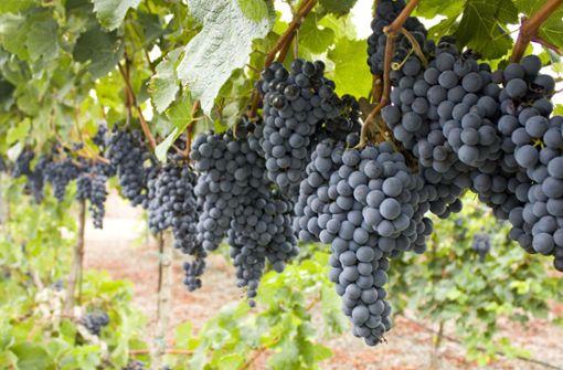 Weintraubendiebe ernten Lemberger fein säuberlich ab