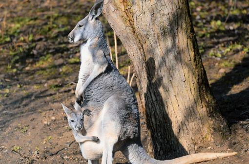 Das Känguru-Dilemma