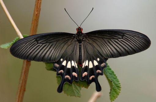 Schmetterling als Vorbild