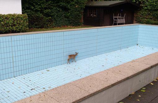 Feuerwehr rettet verirrtes Tier aus Swimmingpool