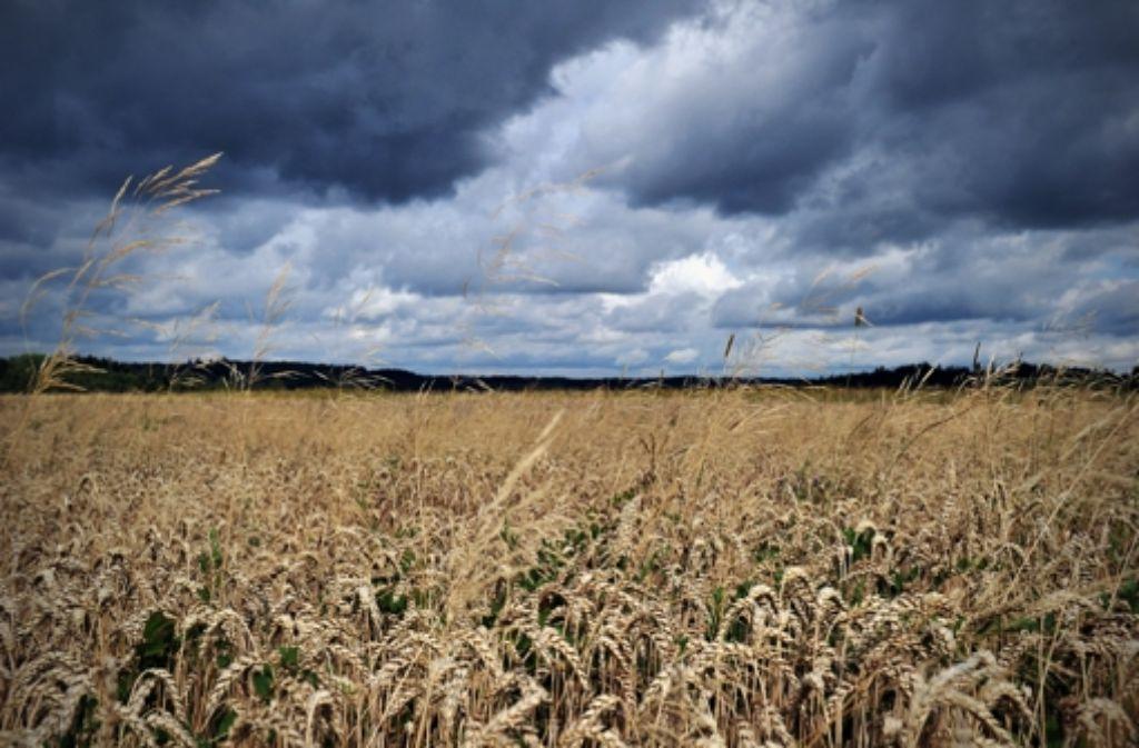 Na, wie steht der Weizen? Vor dem Hintergrund dieser ländlichen Frage entwickelt Ross Thomas gewohnt meisterhaft einen lässig-eleganten Großstadtkrimi. Foto: dpa