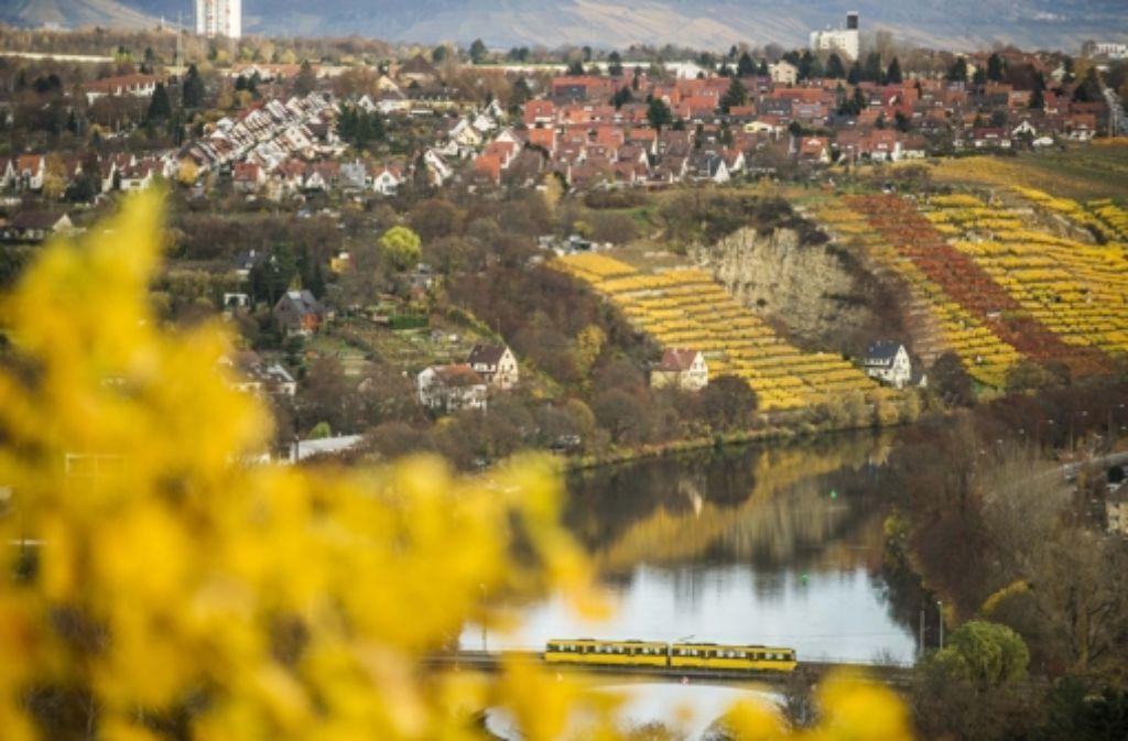 Sortenbestimmung per Laub: Gelbe Blätter stehen für   Trollinger oder weiße Sorten Foto: Lichtgut/Max Kovalenko