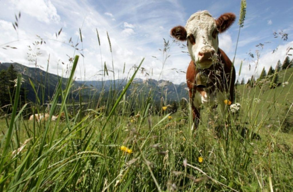 Das Bild der glücklichen Kuh zerstört Wolfgang Schorlau nachhaltig. Foto: dpa