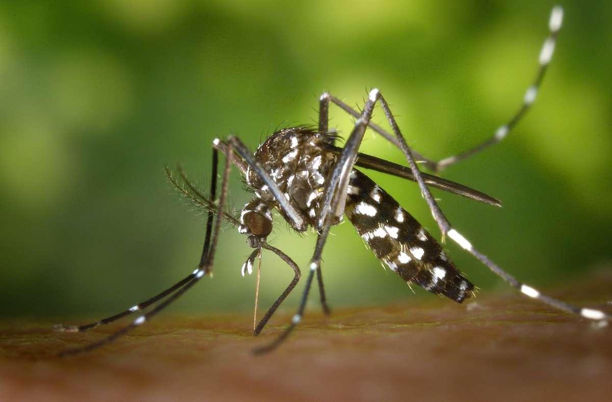 Ursprünglich kommt die Tigermücke aus tropischen Gefilden. Foto: dpa//Gustavo Amador