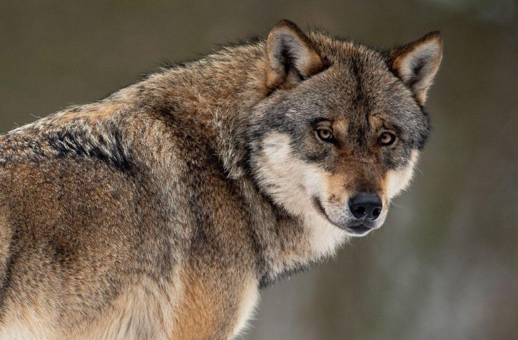 Die gefundenen Haare im Neckar-Odenwald-Kreis stammen doch nicht von einem Wolf. (Symbolbild) Foto: dpa