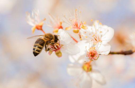 Schnappschuss – Fleißige Bienen sammeln Nektar