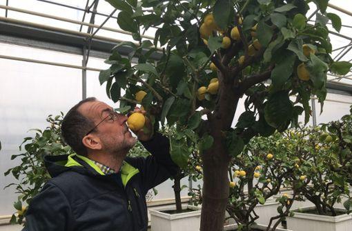 Warum Volker Kugel Zitronen streichelt