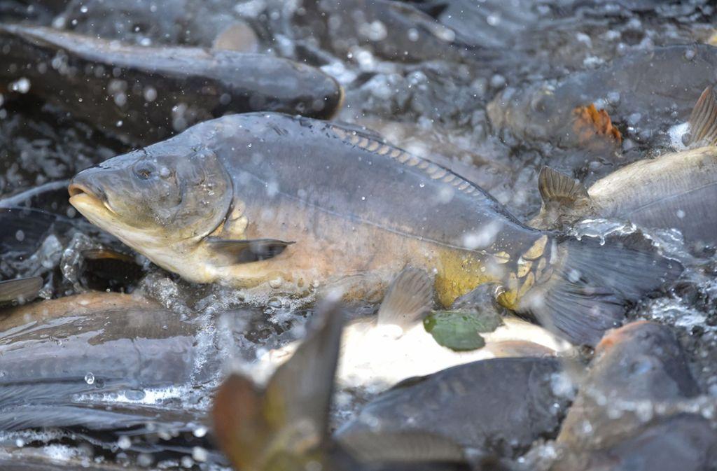 Ein Unbekannter hat einen Karpfen gefischt und liegen gelassen. Foto: dpa