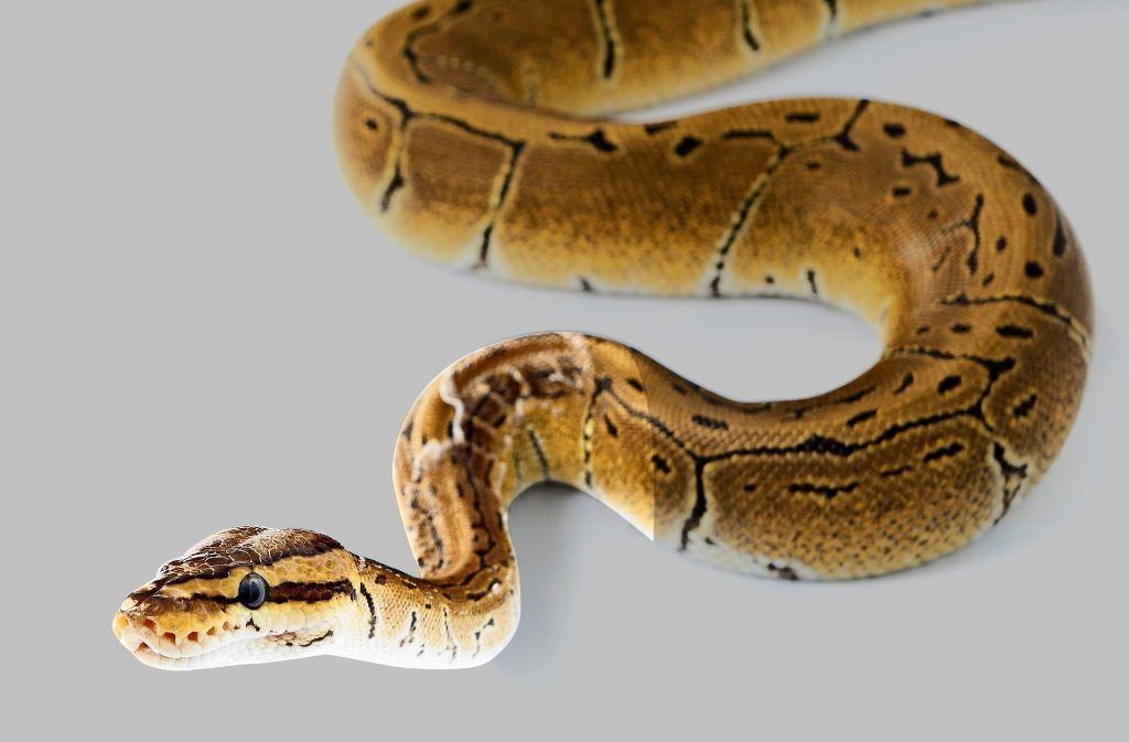 In Thailands Hauptstadt sind Schlangen so weit verbreitet wie lange nicht mehr. Foto: