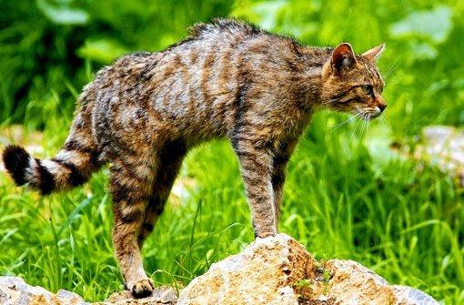 Schleichen der  Wildkatze imitieren