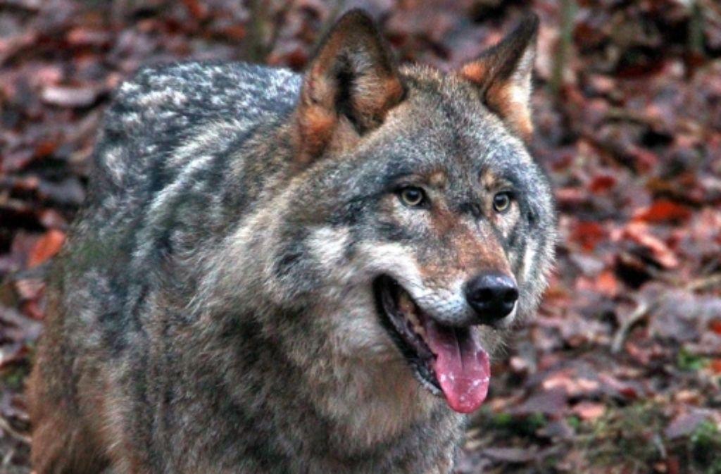 In Schweden ist eine Tierpflegerin von Wölfen getötet worden. Foto: dpa