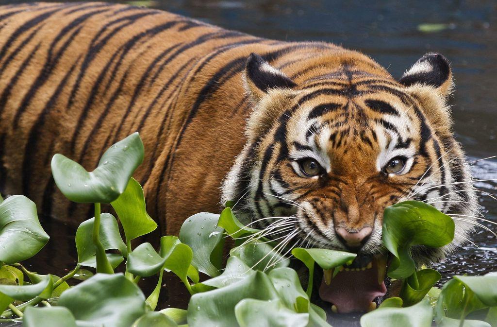 Grrrrrr: In einer Schule in Malaysia sind die Tiger los Foto: dpa