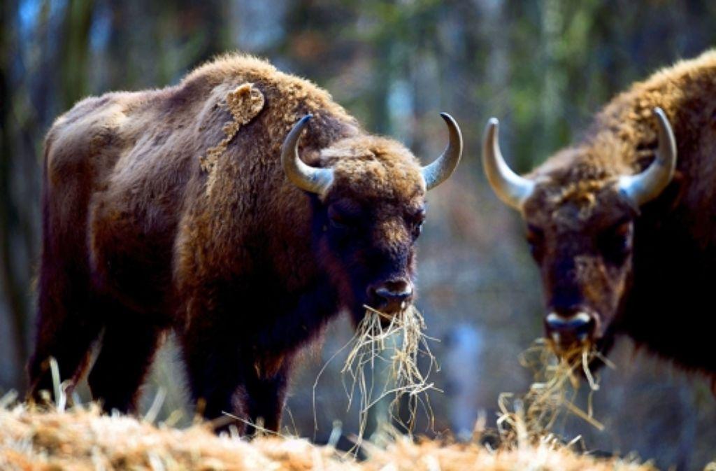 Der Wisent ist Europas größtes und schwerstes Landsäugetier. Foto: dpa
