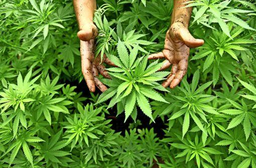 Italienische Polizei entdeckt 500 Cannabis-Pflanzen hinter der Dusche