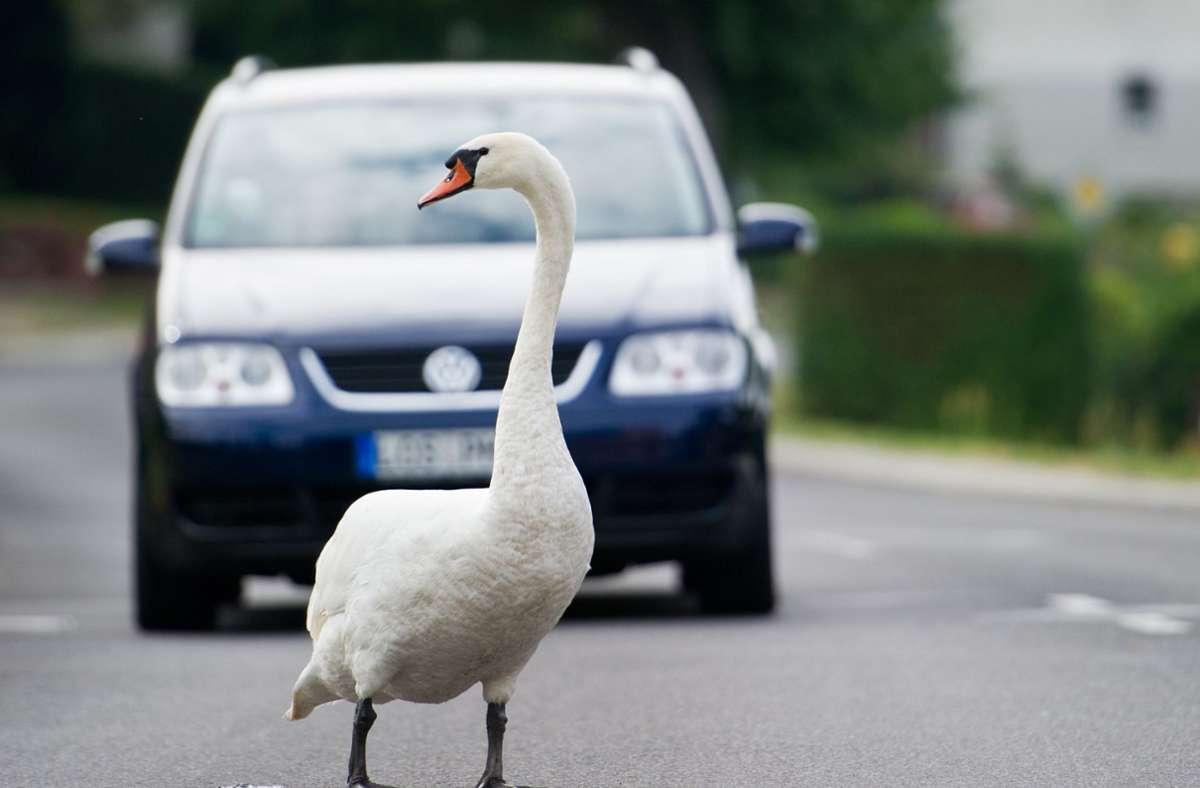 Der Schwan hatte sein Spiegelbild in den Fahrzeugen gesehen und es attackiert. (Symbolbild) Foto: dpa/Patrick Pleul