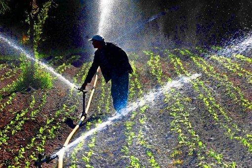 Ein chilenischer Bauer bewässert sein Salatfeld. Foto: AP