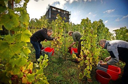 Wein-Urahnen mit guter Aussicht