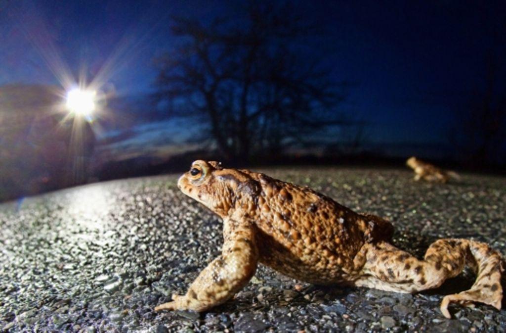 Tödliche Barriere: für   viele  Kröten endet ihre  Wanderung auf einer Straße. Foto: dpa