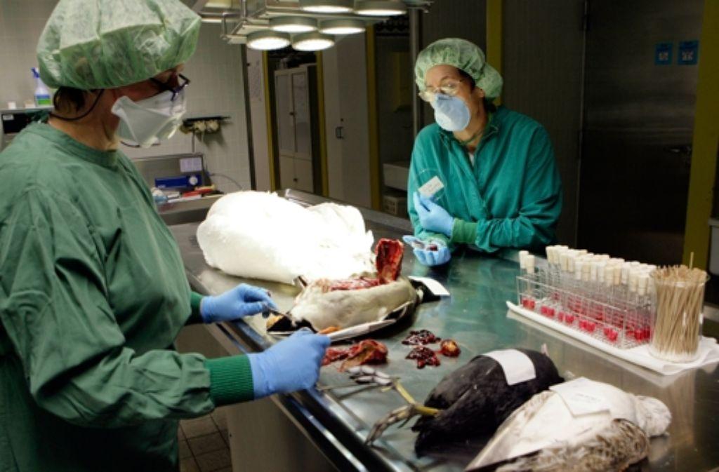 Forscher entnehmen einem an der Vogelgrippe verendeten Erpel eine Gewebeprobe. Foto: dpa