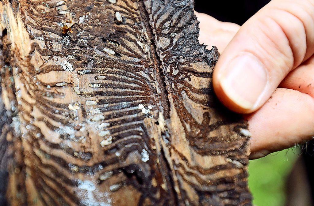 An den typischen Fraßbildern unter der Rinde ist der Borkenkäferbefall erkennbar. Foto: dpa