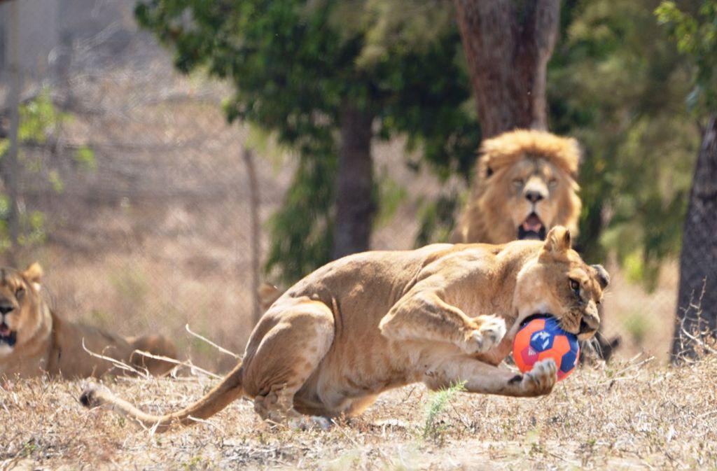 Tierische Ballspiele in Israel anlässlich der Fußball-WM 2018 in Russland Foto: Safari-Zoo
