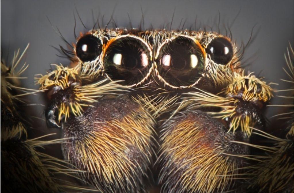 Valentin Gutekunst zieht regelmäßig mit seiner Kamera los, um Spinnen, Käfer und Schmetterlinge formatfüllend zu fotografieren. Das Bild zeigt eine Rindenspringspinne. Foto: Valentin Gutekunst