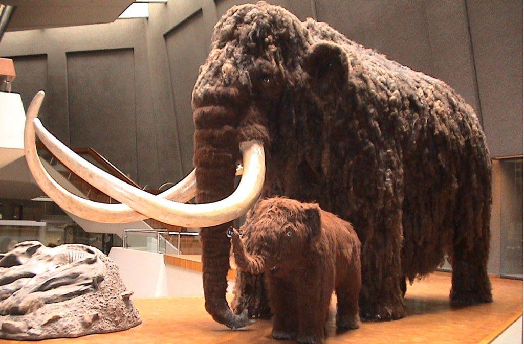 Nachbildungen von Mammuts  gibt es zum Beispiel im Museum am Löwentor in Stuttgart zu sehen. Foto: Archiv/Löwentormuseum
