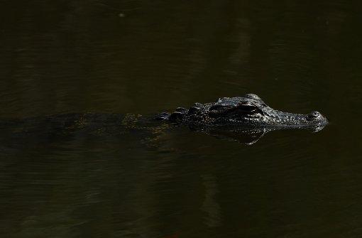 Alligatoren fallen über Leiche her