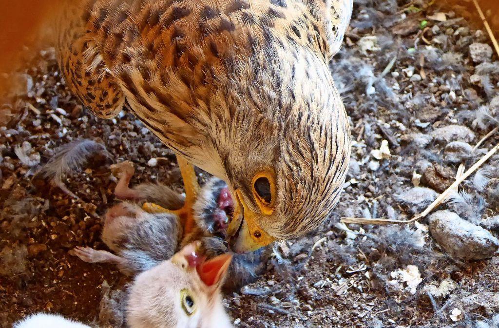 Die Falkenmutter verfüttert ganz sachte das kleingemachte Fleisch einer Maus an eines ihrer  Küken. Foto: Nabu