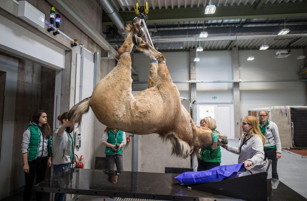 Tierarzthelferinnen nutzen in der Pferdeklinik Equinox einen Kran, um den 28 Jahre alten Rasputin, ein 480 Kilogramm wiegendes Norweger-Pferd, nach der Strahlenberhandlung in die Aufwachbox zu bringen. Foto: dpa