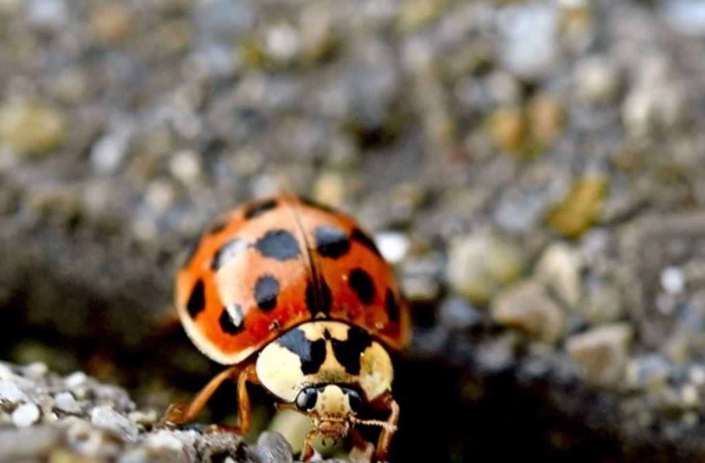 Der  Asiatischer Marienkäfer hat ein gutes Immunsystem Foto: dpa