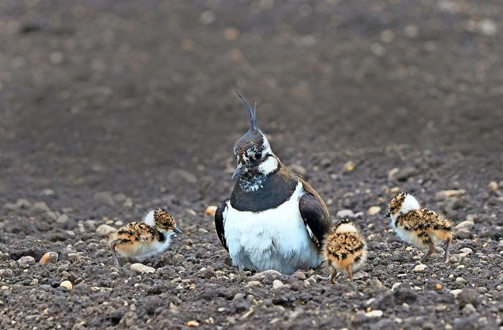 Drei Kiebitzküken wollen erst einmal erfolgreich groß gezogen sein: Das bedeutet jede Menge Arbeit für die Elternvögel. Foto: Michael Bräunicke