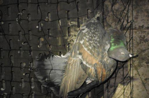 Taubenschützer protestieren mit Erfolg