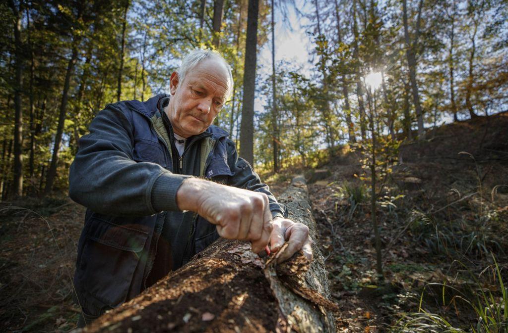 Mithilfe  eines Taschenmessers deckt Rainer Eisenmann (oben) auf,  welche Zerstörung der Borkenkäfer in seinem Versteck   unter der Rinde  verursacht. Foto: Gottfried Stoppel
