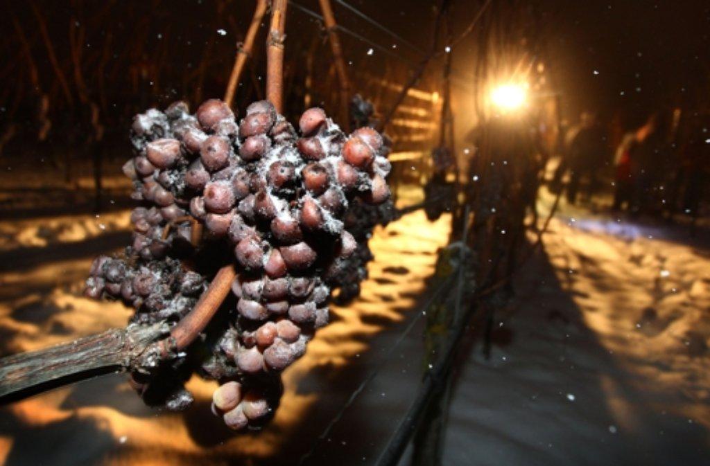 Das Archivbild vom 29. Dezember 2014 zeigt Trauben, die zu Eiswein weiter verarbeitet werden. Foto: dpa