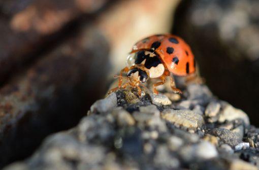 Asiatischer Marienkäfer stößt Steinhummel vom Thron