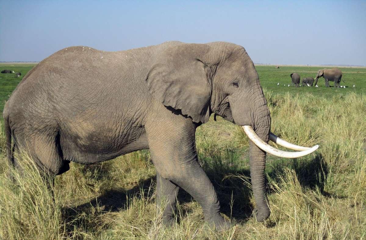 Die Elefanten seien offenbar unabhängig von ihrem Alter und Geschlecht betroffen (Symbolbild) Foto: dpa/Klaus Blume