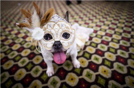 Hund trägt kommende Saison Masken und Federn