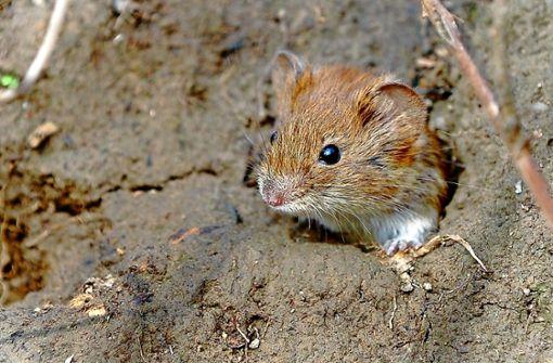 Warum sind die Mäuse im Osten braun?
